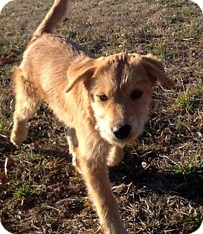labrador retriever terrier mix buttercup adopted puppy sardis tn airedale terrier 2557