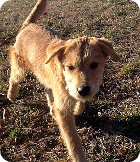 Airedale Terrier/Labrador Retriever Mix Puppy for adoption in Sardis ...