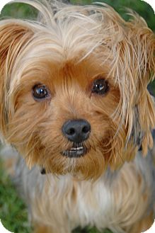 Yorkie, Yorkshire Terrier Dog for adoption in Orange, California - Corky