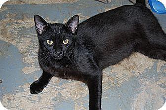 American Shorthair Cat for adoption in Jackson, Mississippi - Otis