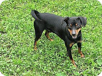 Miniature Pinscher Dog for adoption in Godfrey, Illinois - Noah