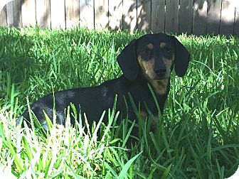 Dachshund Dog for adoption in Humble, Texas - Smoky