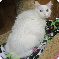 Adopt A Pet :: ZIBA (pure-white Manx) - Witter, AR