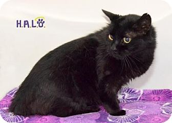 Domestic Shorthair Cat for adoption in Sebastian, Florida - Alina