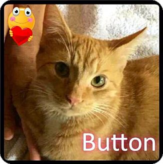 Domestic Shorthair Cat for adoption in Maumelle, Arkansas - Button - Foster / 2015