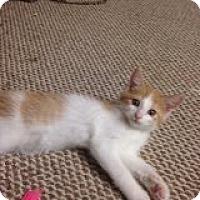 Adopt A Pet :: Butter - Bridgeton, MO