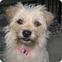Adopt A Pet :: Peanut's ButterCup - Houston, TX