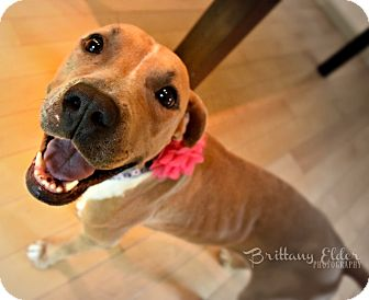 American Staffordshire Terrier/Labrador Retriever Mix Dog for adoption in Cherry Hill, New Jersey - Leona