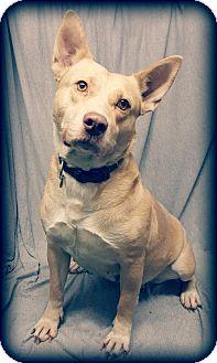 Shepherd (Unknown Type)/Labrador Retriever Mix Dog for adoption in Champaign, Illinois - Jolene <3