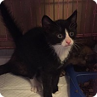 Adopt A Pet :: Lots of Kittens - Clay, NY