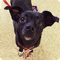 Adopt A Pet :: Xuxy - North Las Vegas, NV