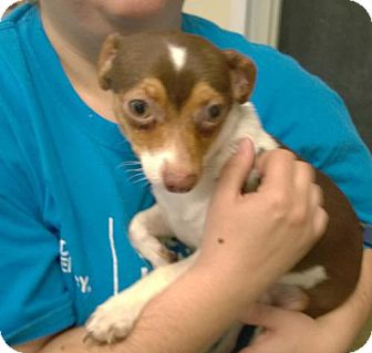 Chihuahua Mix Dog for adoption in Terre Haute, Indiana - OLAF