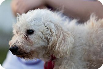 Poodle (Standard) Dog for adoption in Dearborn, Michigan - Wyatt
