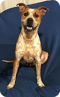 Cattle Dog/Boxer Mix Dog for adoption in Conroe, Texas - Bryson