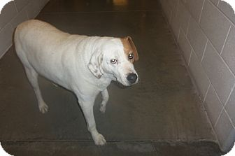 Labrador Retriever/Pit Bull Terrier Mix Dog for adoption in Worland, Wyoming - Sugar