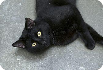 Domestic Shorthair Cat for adoption in Fremont, Nebraska - Norman