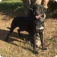 Labrador Retriever/Hound (Unknown Type) Mix Dog for adoption in Slidell, Louisiana - Merrill