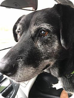 Labrador Retriever Mix Dog for adoption in Transfer, Pennsylvania - Gracie