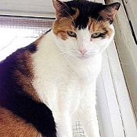 Domestic Shorthair Cat for adoption in Huntington, New York - Muffin