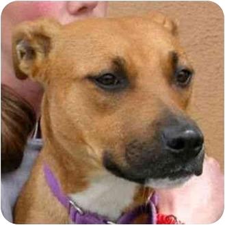 American Pit Bull Terrier Mix Dog for adoption in Berkeley, California - Irma