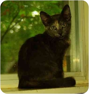 Domestic Shorthair Cat for adoption in Witter, Arkansas - NIKKI