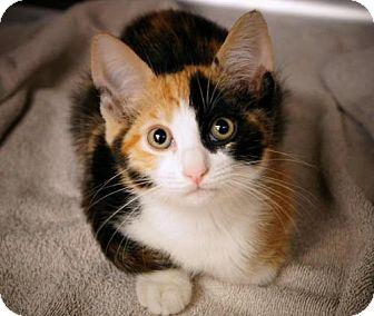 Calico Kitten for adoption in Brea, California - Fern