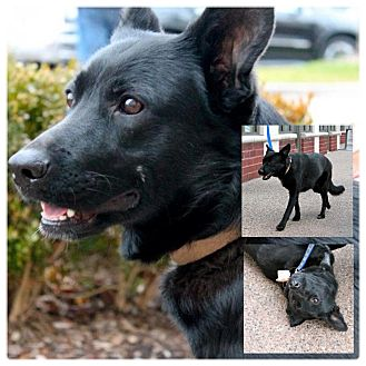 German Shepherd Dog/Labrador Retriever Mix Dog for adoption in Garden City, Michigan - Luna
