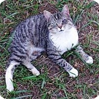 Manx Cat for adoption in Gaffney, South Carolina - Manny