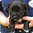 Adopt A Pet :: Sugar's Pup Sebastian