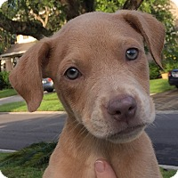 Adopt A Pet :: Angel#1M - Orlando, FL