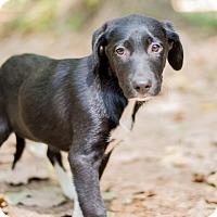 Adopt A Pet :: Sox-pending adoption - East Hartford, CT