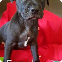 Adopt A Pet :: Shirley's Puppy - Michone - Midlothian, VA