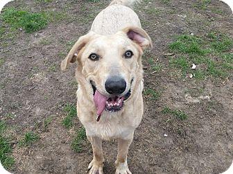 Labrador Retriever Mix Dog for adoption in Indianola, Iowa - Copper