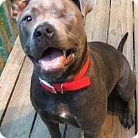 Pit Bull Terrier Dog for adoption in Kansas City, Missouri - Winky