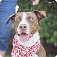 Pointer/Pit Bull Terrier Mix Dog for adoption in Kingwood, Texas - Rosie