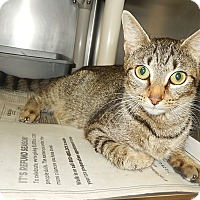Domestic Shorthair Cat for adoption in Newport, North Carolina - Tootsie