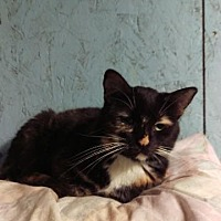 Domestic Shorthair Cat for adoption in Brainardsville, New York - Pumpernickle