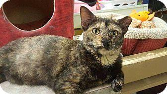 Domestic Shorthair Cat for adoption in Harleysville, Pennsylvania - Terra