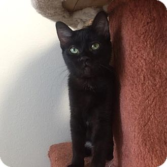 Domestic Shorthair Kitten for adoption in Westminster, California - Aphrodite