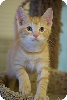 Domestic Shorthair Cat for adoption in DFW Metroplex, Texas - Raymundo