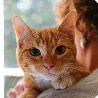 Domestic Shorthair Kitten for adoption in Butner, North Carolina - Peanut