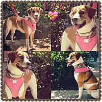 Adopt A Pet :: Eva - hollywood, FL