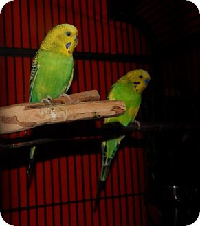 Parakeet - Other for adoption in Old Fort, North Carolina - Tia and Thad