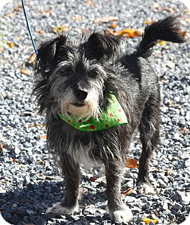 Cairn Terrier/Terrier (Unknown Type, Small) Mix Dog for adoption in West Grove, Pennsylvania - Tubbie