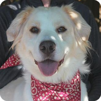 Great Pyrenees/Border Collie Mix Dog for adoption in Garfield Heights, Ohio - Beauty-PENDING