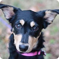 Adopt A Pet :: Amelia - ADOPTED - Bedminster, NJ