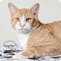 Adopt A Pet :: Tommy - Apache Junction, AZ