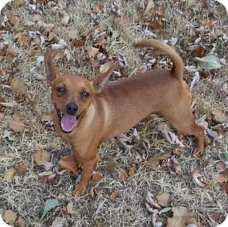 Miniature Pinscher Dog for adoption in Nashville, Tennessee - Sampson