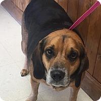 Adopt A Pet :: Bennie - Dumfries, VA