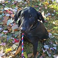 Adopt A Pet :: Armanda in CT - East Hartford, CT